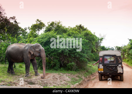 Wild Asian Elephant Elephas maximus at mineral lick near jungle road in front of Safari vehicle - Stock Photo