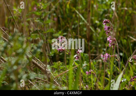 Swallowtail Butterfly (Papillio machaon britannicus). On Red Campion (Silene dioica). May. How Hill, River Ant, - Stock Photo