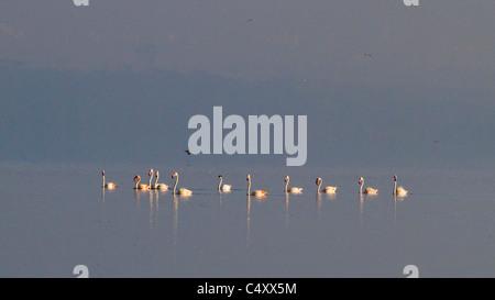 Lesser flamingos Lake nakuru - Stock Photo