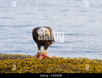 Bald Eagle stands on a fish head in an arrogant posture on a rock on the coastline near Port Hardy Vancouver Island - Stock Photo