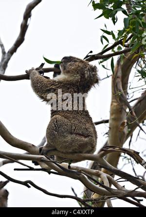 A Koala Bear Feeding on Eucalyptus Leaves in a Tree at Great Otway National Park Victoria Australia - Stock Photo