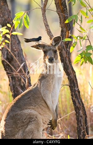 Willy wagtail perched on ear of eastern gray kangaroo (Macropus giganteus) in Undara National Park in Queensland - Stock Photo