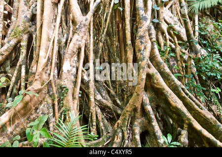 Cathedral Fig (Ficus virens) in Danbulla State Forest in northern Queensland Australia - Stock Photo