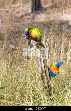 Rainbow lorikeets on water faucet in Undara National Park in Queensland Australia. - Stock Photo