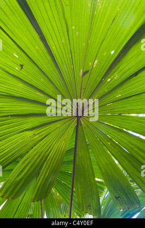 Fan palm (Licuala ramsayi) in the Daintree Rainforest in Northern Queensland Australia - Stock Photo