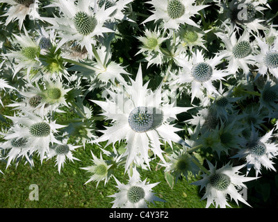 sea holly type of thistle in garden - Stock Photo