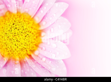 Pink floral abstract background with wet daisy flower border - Stock Photo