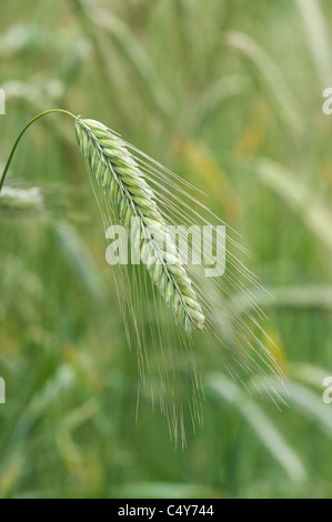 Secale cereale. Rye grass seed head - Stock Photo