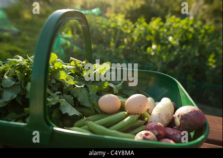 A trug full of freshly collected vegetables on an allotment garden, summer, UK - Stock Photo