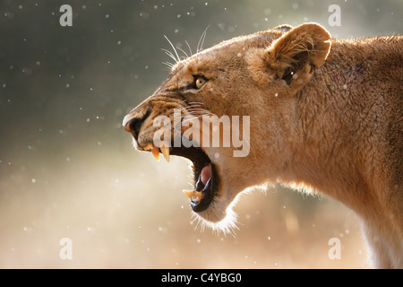 Lioness displays dangerous teeth during light rainstorm - Kruger National Park - South Africa - Stock Photo