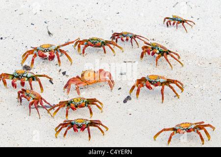 Sally Lightfoot crabs on beach on Baltra Island in the Galapagos Islands Ecuador - Stock Photo