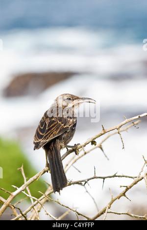 Hood mockingbird on Espanola (Hood) Island in the Galapagos Islands Ecuador