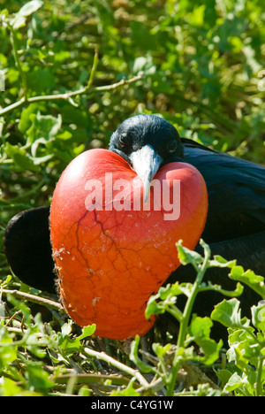 Male great frigatebird (Fregata minor) with inflated gular sac on Genovesa Island in the Galapagos Islands Ecuador - Stock Photo