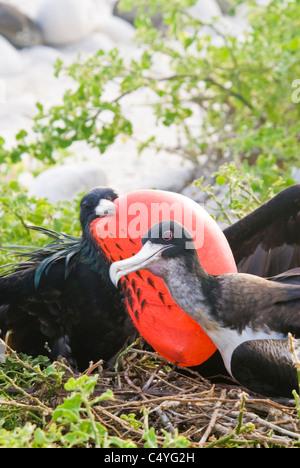 Great frigatebird pair on Genovesa Island in the Galapagos Islands Ecuador - Stock Photo