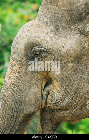 Asian or Asiatic Elephant (Elephas maximus) WILD, Close-up of Face, Yala National Park, Sri Lanka - Stock Photo