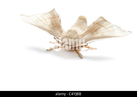 butterfly of silkworm silk worm isolated on white background - Stock Photo