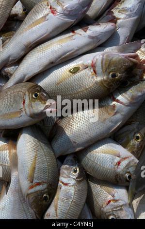 Catch of the day Negombo Fish Market Sri Lanka - Stock Photo