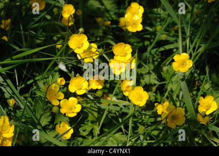 Creeping buttercup (Ranunculus repens) flowering in mature pasture, Devon - Stock Photo