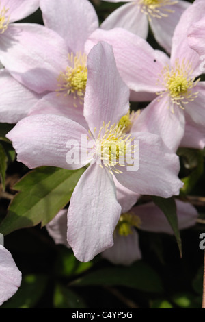 Clematis montana 'Elizabeth' flowers on a garden climber - Stock Photo
