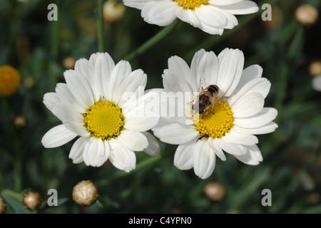 Drone fly (Eristalis tenax) on a marguerite daisy (Argyranthemum frutescens) flower - Stock Photo
