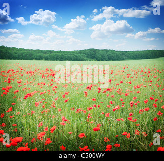 Field of wild poppy flowers on blue sky background. - Stock Photo
