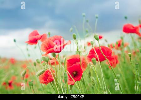 Wild poppy flowers on blue sky background. - Stock Photo