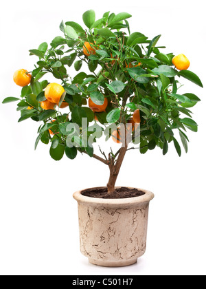 Small tangerines tree on white background. - Stock Photo