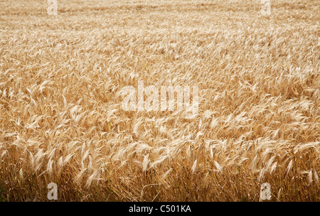 Close up shot of wheat stalk on a blue sky background.