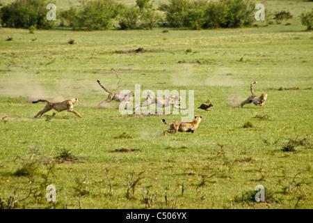 Cheetah and cubs chasing Thomson's gazelle, Masai Mara, Kenya - Stock Photo