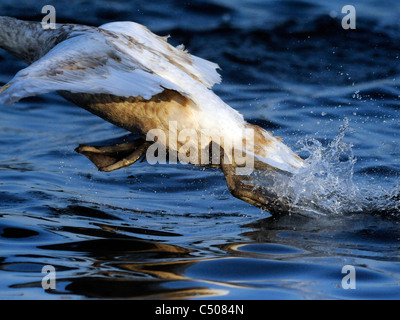 A young swan taking off from water. - Stock Photo