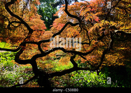 Acer palmatum 01 - Stock Photo