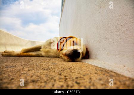 Santorini typical iconic Greek Island street dog pet keeping out of sun hot day sleeping on path Thira - Stock Photo