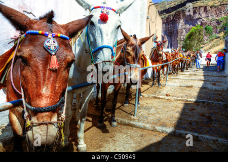Santorini typical iconic Greek Island donkeys & horses lined up for tourists rides to Thira muzzle close head - Stock Photo