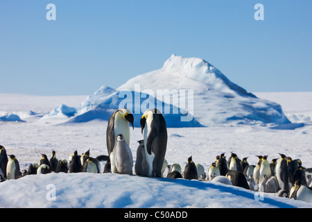 Emperor Penguin parent with chick on ice, Snow Hill Island, Antarctica - Stock Photo