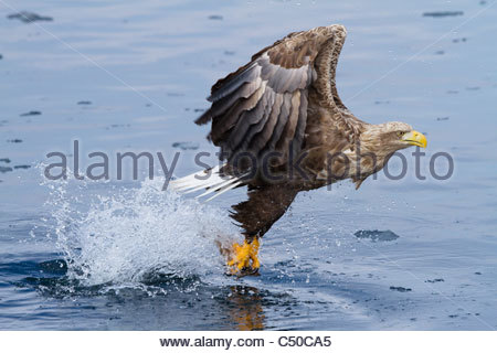 White-tailed eagle catching fish - Stock Photo