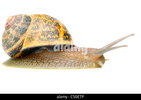 Adult Common Snail Isolated On White Studio Shot - Stock Photo