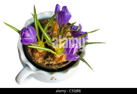 Crocus Flowers in Pot Isolated on White - Stock Photo