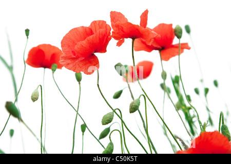 Tender poppy flowers on a white background. - Stock Photo