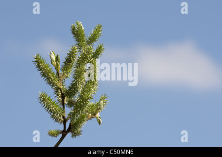 The small spring buds on the aldertree with the clear blue sky background - Stock Photo