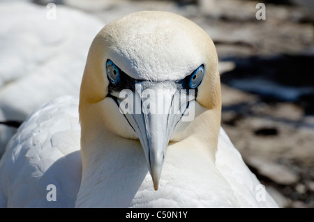 Northern Gannet, Morus bassanus - Stock Photo