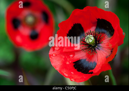 Papaver commutatum ladybird poppy - Stock Photo