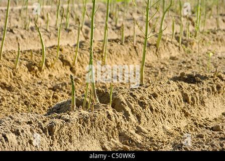 Spargelfeld - asparagus field 27 - Stock Photo