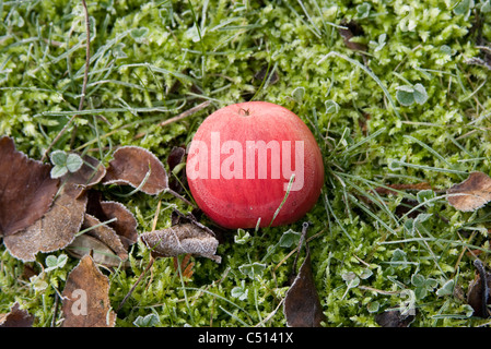 Frost covered apple resting on the ground - Stock Photo