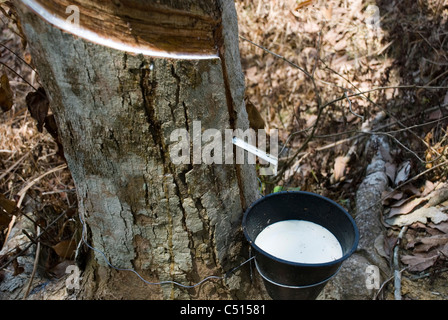 Latex being collected from a tapped rubber tree - Stock Photo