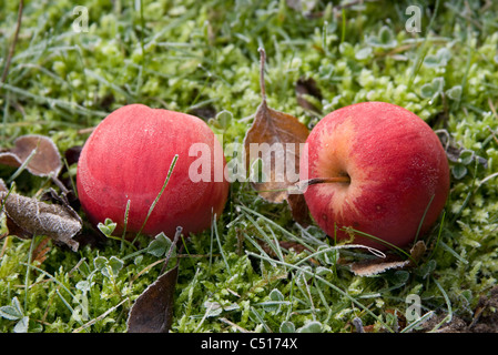 Frost covered apples resting on the ground - Stock Photo