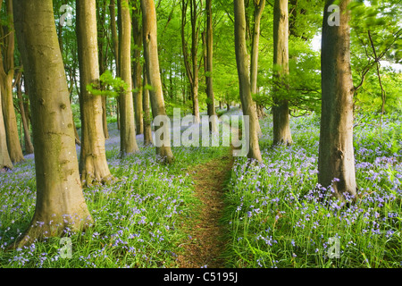 Bluebells (Hyacinthoides non-scripta) in Beech (Fagus sp) Woodland. Priors Wood. North Somerset. England. UK. - Stock Photo