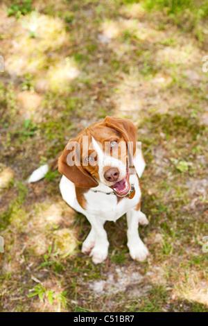 Portrait of Beagle - Stock Photo