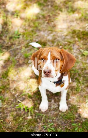 Portrait of Beagle sitting - Stock Photo