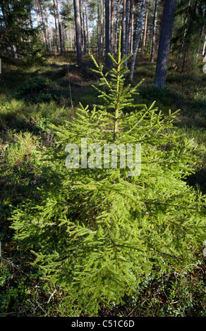 Spruce ( fir tree, picea abies ) sapling growing in the forest , Finland