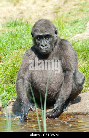 close-up of a young silverback gorilla - Stock Photo